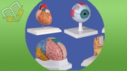 modele anatomia omului